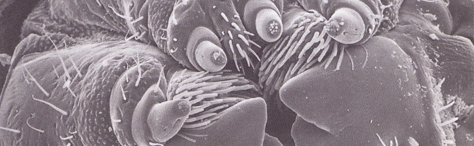apparato boccale della larva