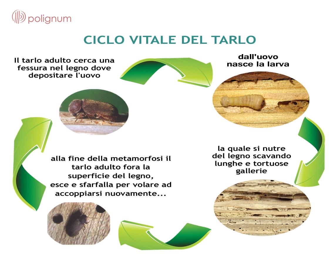 ciclo vitale dei tarli