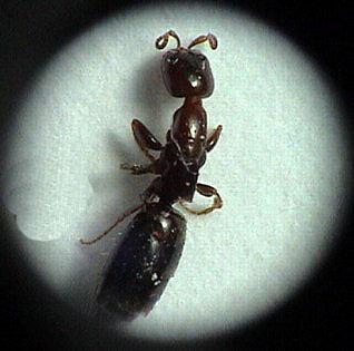 Parassita Scleroderma Domesticum